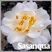 Delicate Lady Camellia