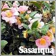 Pinky Camellia