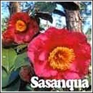 Scarlet Image Camellia