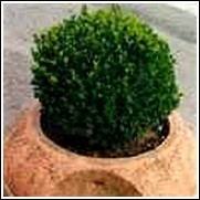Japanese Boxwood Shrub