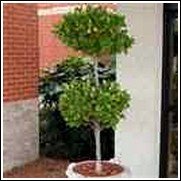 Ligustrum Shrub