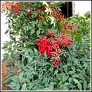Domestic Nandina Shrub
