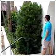 Podocarpus Shrub