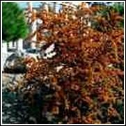 Orange Pyracantha Shrub