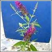 Attraction Butterfly Bush