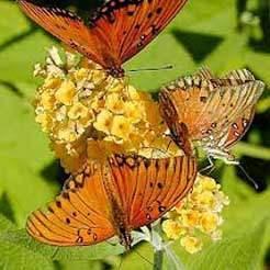 Yellow Butterfly Bush Butterfly Bush Plants Free