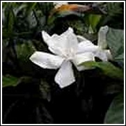 August Beauty Gardenia Shrub