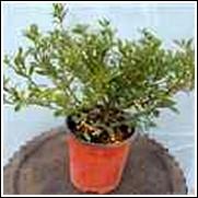 Radicans Dwarf Gardenia