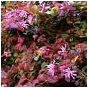 Ruby Loropetalum Shrub