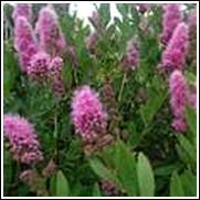 Billiard Spirea