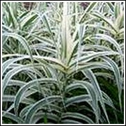 Zebra Stripe Grass