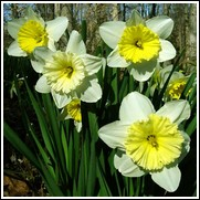 Ice Follies Daffodil Bulbs