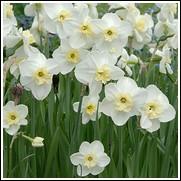 Papillon Blanc Daffodil Bulbs