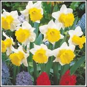 Topolino Daffodil Bulbs