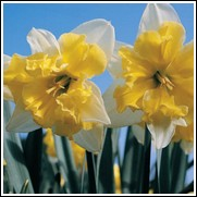 Valdrome Daffodil Bulbs