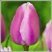Aafke Tulip Bulbs