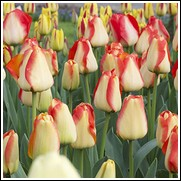 American Dream Tulip Bulbs