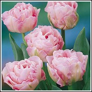 Angelique Tulip Bulbs