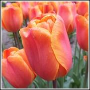 Annie Schilder Tulip Bulbs