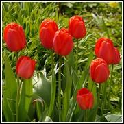 Apeldoorn Tulip Bulbs