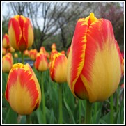 Banjaluka Tulip Bulbs