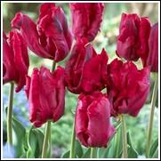 Bastogne Parrot Tulip Bulbs