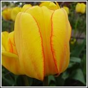Blushing Apeldoorn Tulip Bulbs