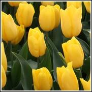 Golden Apeldoorn Tulip Bulbs