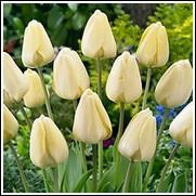 Ivory Floradale Tulip Bulbs