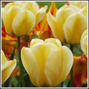 Jaap Groot Tulip Bulbs