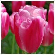 Jumbo Pink Tulip Bulbs