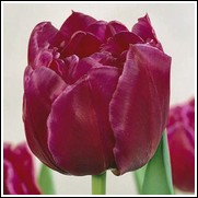 Margarita Tulip Bulbs