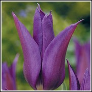 Purple Dream Tulip Bulbs