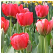Spring Song Tulip Bulbs