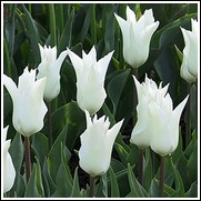 Tres Chic Tulip Bulbs