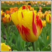 Washington Tulip Bulbs