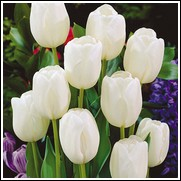 White Dream Tulip Bulbs